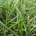 Ophiopogon japonicus - Slangebaard / Japans slangengras - Ophiopogon japonicus