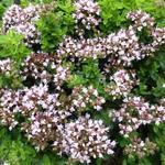 Origanum vulgare 'Compactum' - Wilde marjolein, oregano - Origanum vulgare 'Compactum'