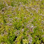Origanum vulgare 'Thumble's Variety' - Wilde marjolein, oregano - Origanum vulgare 'Thumble's Variety'