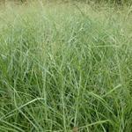 Panicum virgatum 'Prairie Sky' - Vingergras - Panicum virgatum 'Prairie Sky'
