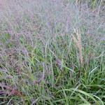 Panicum virgatum 'Shenandoah' - Vingergras - Panicum virgatum 'Shenandoah'
