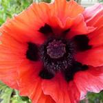 Papaver orientale 'Beauty of Livermere' - Oosterse papaver - Papaver orientale 'Beauty of Livermere'
