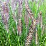 Pennisetum alopecuroides 'Cassian' - Lampepoetsersgras - Pennisetum alopecuroides 'Cassian'
