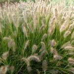 Pennisetum alopecuroides 'Gelbstiel' - Lampepoetsersgras - Pennisetum alopecuroides 'Gelbstiel'