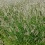 Pennisetum alopecuroides 'Hameln' - Lampenpoetsersgras - Pennisetum alopecuroides 'Hameln'