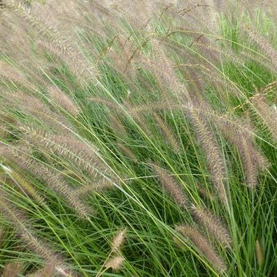 Pennisetum alopecuroides 'Herbstzauber' - Lampenpoetsersgras - Pennisetum alopecuroides 'Herbstzauber'