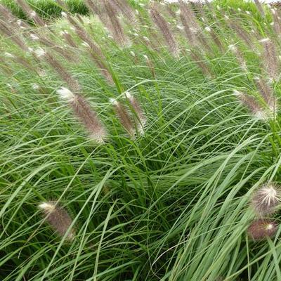Pennisetum alopecuroides 'Japonicum' - Lampepoetsersgras - Pennisetum alopecuroides 'Japonicum'