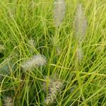 Pennisetum alopecuroides 'JS Jommenik' - Lampepoetsergras - Pennisetum alopecuroides 'JS Jommenik'