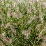 Pennisetum alopecuroides 'Little Honey' - Lampenpoetsersgras