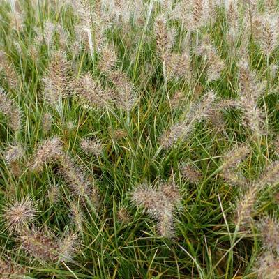 Pennisetum alopecuroides 'Little Honey' - Lampenpoetsersgras - Pennisetum alopecuroides 'Little Honey'