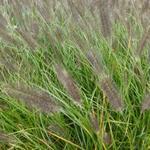 Pennisetum alopecuroides 'Moudry' - Lampenpoetsersgras - Pennisetum alopecuroides 'Moudry'