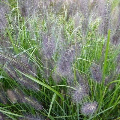 Pennisetum alop. national arboretum - Lampepoetsersgras - Pennisetum alop. national arboretum