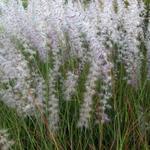 Pennisetum orientale - Lampenpoetsersgras - Pennisetum orientale