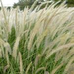 Pennisetum orientale 'Fairy Tails' - Lampenpoetsergras - Pennisetum orientale 'Fairy Tails'