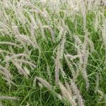 Pennisetum orientale 'Tall Tails' - Lampenpoetsersgras - Pennisetum orientale 'Tall Tails'