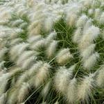 Pennisetum villosum - Lampenpoetsersgras - Pennisetum villosum
