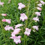 Penstemon  digitalis 'Apple Blossom' - Slangekop