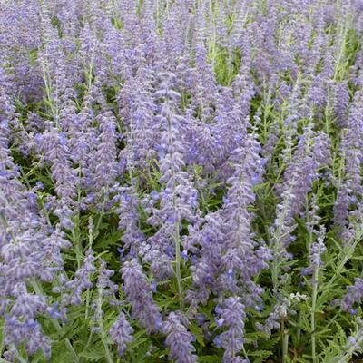 Perovskia atriplicifolia 'Lacey Blue' - Russische salie - Perovskia atriplicifolia 'Lacey Blue'