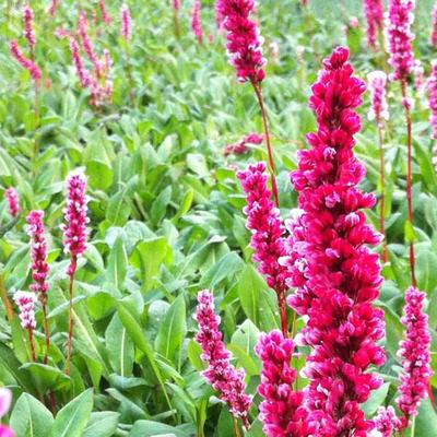 Persicaria affinis 'Darjeeling Red'  -