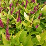 Persicaria amplexicaulis 'Golden Arrow' - Duizendknoop