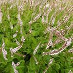 Persicaria amplexicaulis 'Pink Mist' - Duizendknoop - Persicaria amplexicaulis 'Pink Mist'