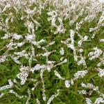 Duizendknoop - Persicaria amplexicaulis 'White Eastfield'