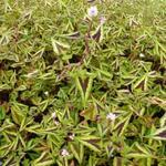 Persicaria microcephala 'Purple Fantasy' - Duizendknoop - Persicaria microcephala 'Purple Fantasy'