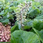 Petasites hybridus - Groot hoefblad - Petasites hybridus