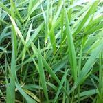 Rietgras - Phalaris arundinacea
