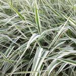 Phalaris arundinacea var. picta 'Picta' - Rietgras, Kanariegras, Bont rietgras - Phalaris arundinacea var. picta 'Picta'