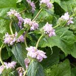 Brandkruid - Phlomis tuberosa