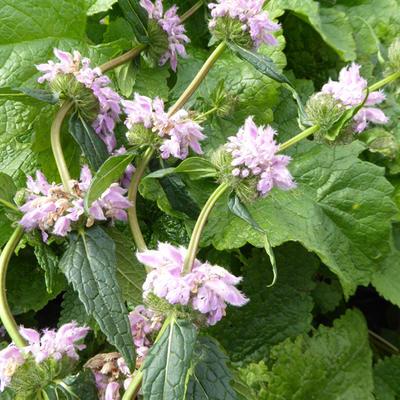 Phlomis tuberosa -