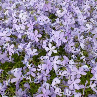 Phlox divaricata 'Clouds of Perfume'  -