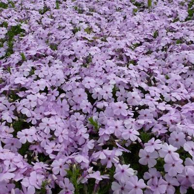 Phlox douglasii 'Lilac Cloud' -