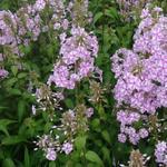 Phlox maculata 'Natascha' - Vlambloem - Phlox maculata 'Natascha'