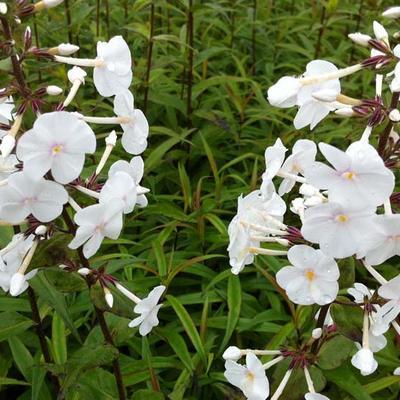 Phlox maculata 'Omega' -