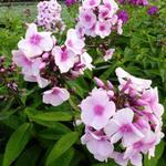 Phlox paniculata 'Bright Eyes' - Vlambloem, Floks - Phlox paniculata 'Bright Eyes'