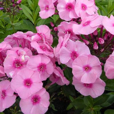 Phlox paniculata 'Herbstwalzer' -