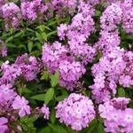 Phlox paniculata 'Judy' - Vlambloem / Flox - Phlox paniculata 'Judy'