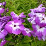Vlambloem, floks - Phlox paniculata 'Uspekh'