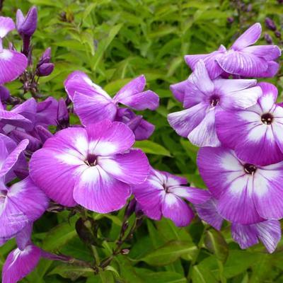 Phlox paniculata 'Uspekh' -