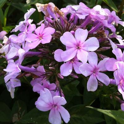Phlox paniculata  'Lichtspel' -