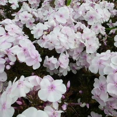 Phlox paniculata 'Monica Lynden-Bell' -