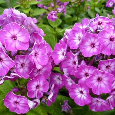 Phlox paniculata 'Purple Eye FLAME'
