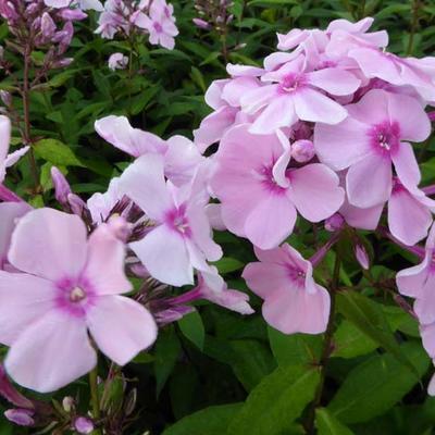Phlox paniculata 'Rosa Pastel' -