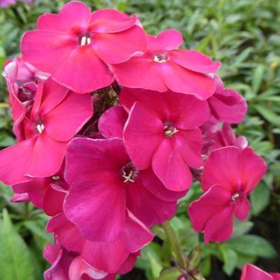 Phlox paniculata 'Septemberglut' -