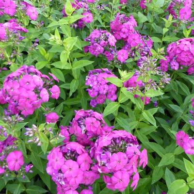 Phlox paniculata 'The King' -
