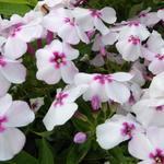 Phlox paniculata 'White Eye FLAME' - Vlambloem, floks - Phlox paniculata 'White Eye FLAME'
