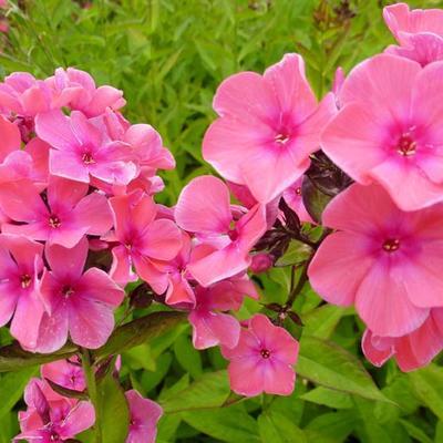 Phlox paniculata 'Windsor' -