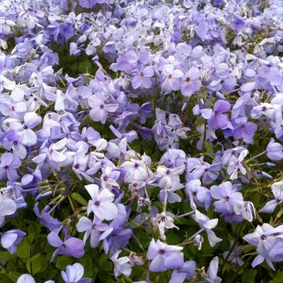 Phlox stolonifera 'Blue Ridge' -